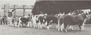 simmental-steer-line-up-at-ad