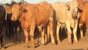 Laidley Simmental steers to $1590