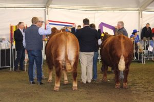 Champion and Reserve Champion Export Steer on Hoof