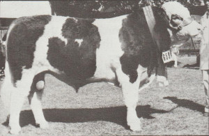Terangaville Waldo Reserve Senior champion Bull Adelaide Royal 1982. Photo by Jesse Bezwarchny