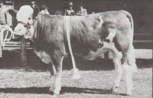 Zurich Poll Princess Junior Champion Heifer Adelaide Royal 1982. Photo by Jesse Bezwarchny