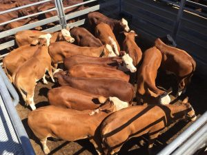 hay-family-simmental-x-steers-281016