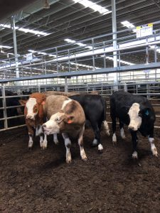 Simm X steers sold at Yea 18/1