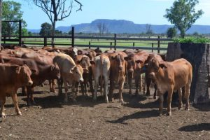 Groat Family Trust Simmental X heifers from Injune on Auctions Plus 3/2/17