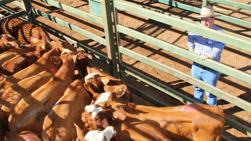 Blackall GDL stock agent Andrew Carcary with the Droughtmaster/Simmental steers that made $750 at Blackall's weaner sale on Thursday. Picture: Sally Cripps.