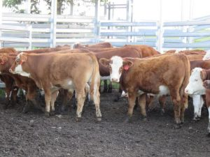 A/C D & A Bradford, Guyra NSW, 35 Hereford Simmental X steers, 5-7mo, 258.3kg for $1065/hd