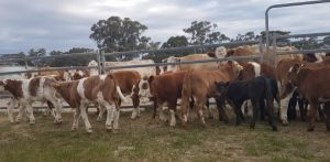 A/c Geurie Rural, Geurie NSW, 23 NSM Cows and 23 calves Simmental and Simmental X Shorthorn, 603.9kg for $1360/hd