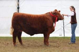 Reserve Champion Export Steer on Hoof - Woonallee Marshmellow