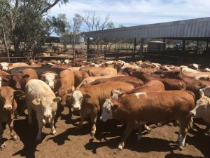 Auctions Plus 3/11 A/C GJ & CA Offerman of Wee Waa NSW, 36 Simmental X Braford feeder steers, 458.8kg for $1370.71/hd
