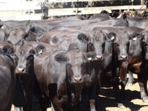 A/C Rockbridge Holdings, Quinninup WA, 26 Simmental X mixed sex yearlings 18-20mo, 498.3kg,  $1235/hd.