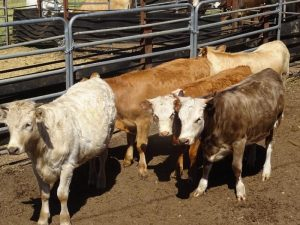 A/C Thomson & Tylor, Balingup WA, 5 mixed sex Simmental vealers, 300.2kg for $840/hd