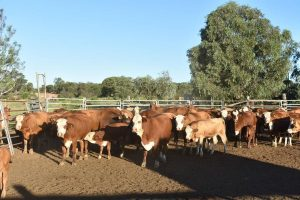Auctions Plus 16/3 A/C Watermark Pastoral, Bluff Q, 36 Simmental & Sim X  Braford, Cows and Calves, $1600/hd