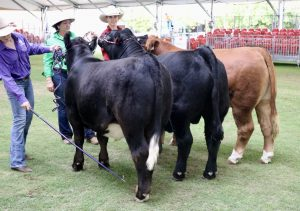 Stan Hill Trophy Steer entries