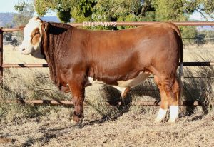 Top priced bull, Barana Muhammad sold for $12,000
