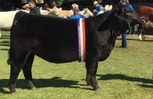 Junior Champion Heifer Yerwal Estate Charo N180